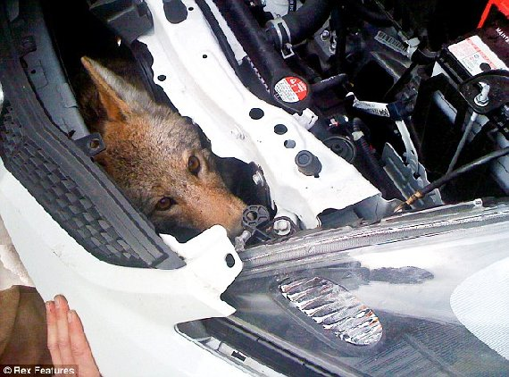 Wily Coyote: The animal's head can be seen as rescuers took apart the front fender to save it after it was struck by the car at 75mph.