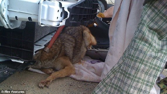 Miracle Escape: As the animal struggled, wildlife protection officials put a loop around its neck to prevent it from further injuring itself.  The front of the car is completely taken apart as the coyote begins to wriggle free.