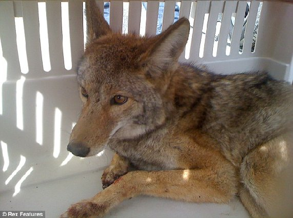 And Voila! Tricky, the toughest coyote ever, rests in a cage after its ordeal - which it survived with just some scrapes to its paw!