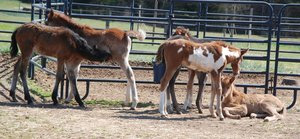 Nurse Foal Benefit Flyer v3 030713