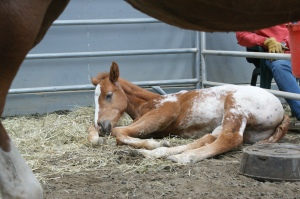 An appy PMU foal rests near its mother.