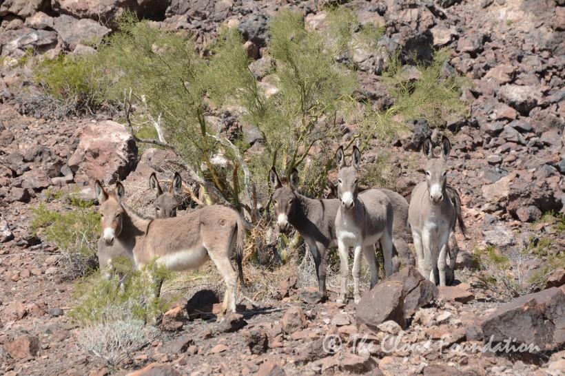 herd burros